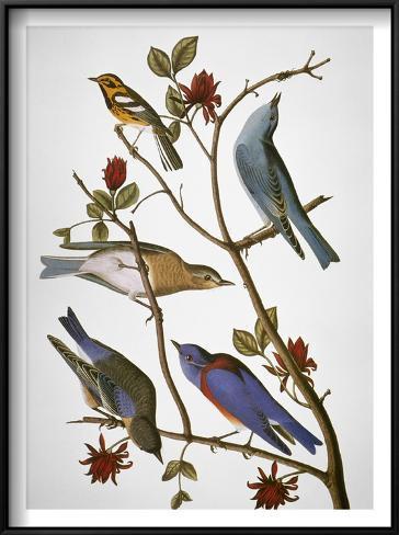 Audubon: Bluebirds Framed Art Print