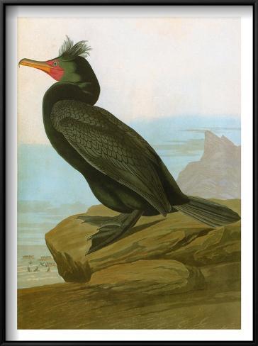Audubon: Cormorant Framed Art Print