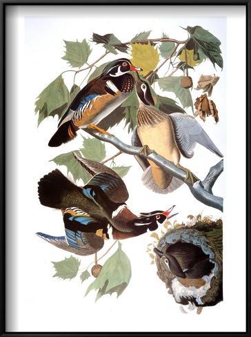 Audubon: Duck Framed Art Print