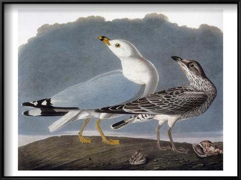 Audubon: Gull Framed Art Print