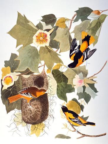 Audubon: Oriole Giclee Print