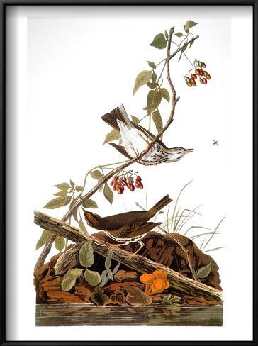 Audubon: Ovenbird Framed Art Print