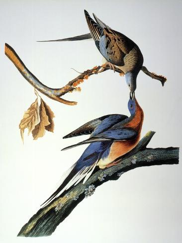 Audubon: Passenger Pigeon Giclee Print
