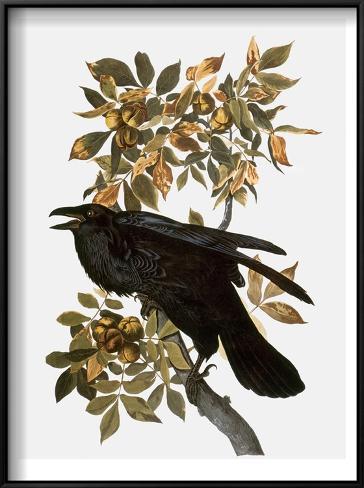 Audubon: Raven Framed Art Print