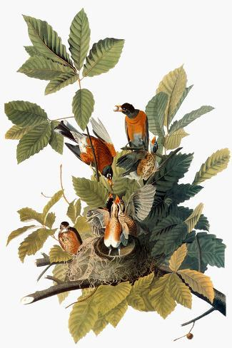 Audubon: Robin Giclee Print