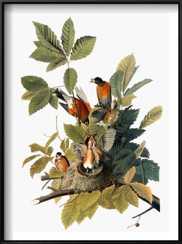 Audubon: Robin Framed Art Print