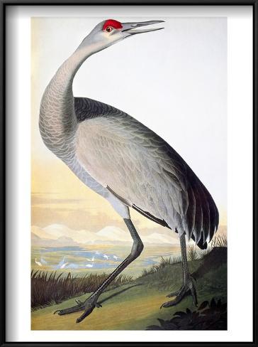 Audubon: Sandhill Crane Framed Art Print