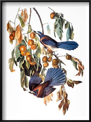 Audubon: Scrub Jay, 1827-38 Framed Art Print