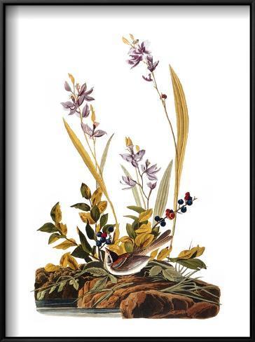Audubon: Sparrow, 1827-38 Framed Art Print