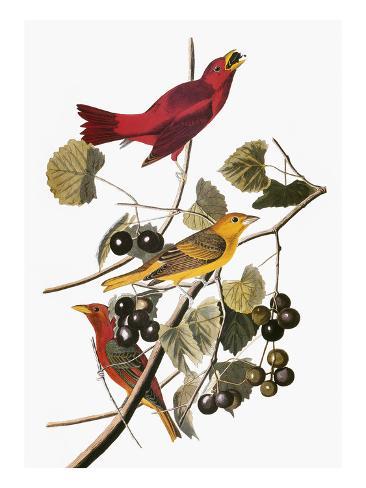 Audubon: Tanager Giclee Print