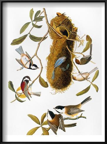 Audubon: Titmouse Framed Art Print