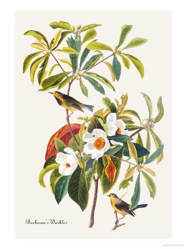 Bachman's Warbler Art Print