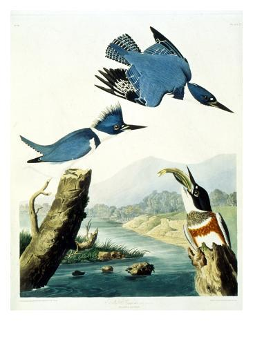 Belted Kingfisher Giclee Print