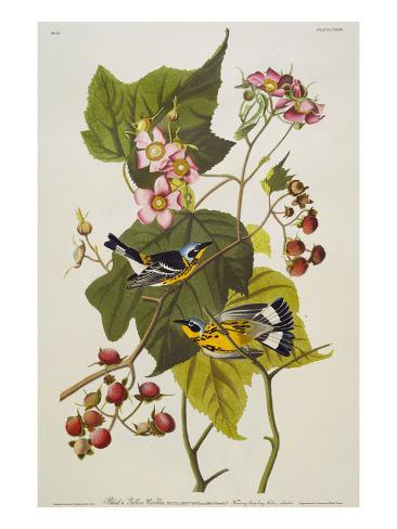 Black & Yellow Magnolia Warbler (Dendroica Magnolia), Plate CXXIII, from 'The Birds of America' Giclee Print