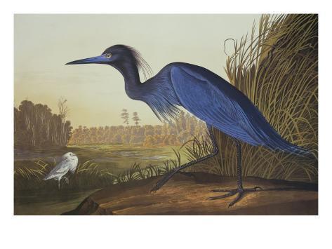 Blue Crane Or Heron Art Print