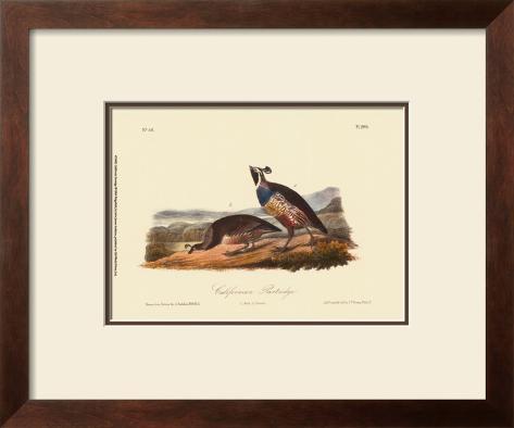 California Partridge Framed Art Print