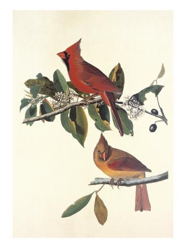 Cardinal Grosbeak Art Print
