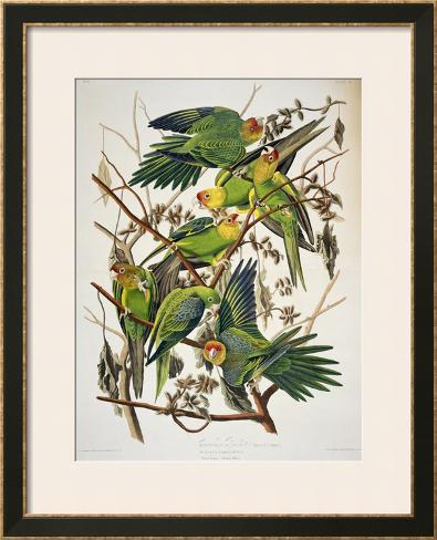 Carolina Parakeet, from