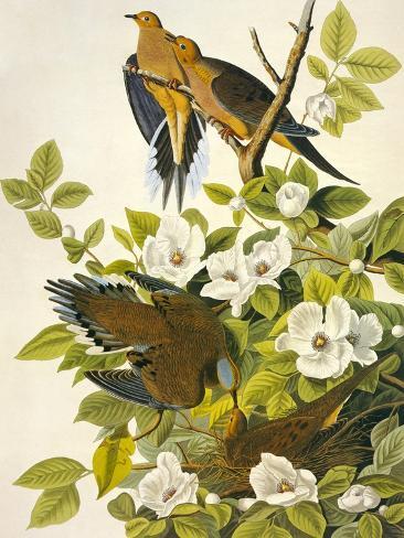 Carolina Turtle Dove Art Print