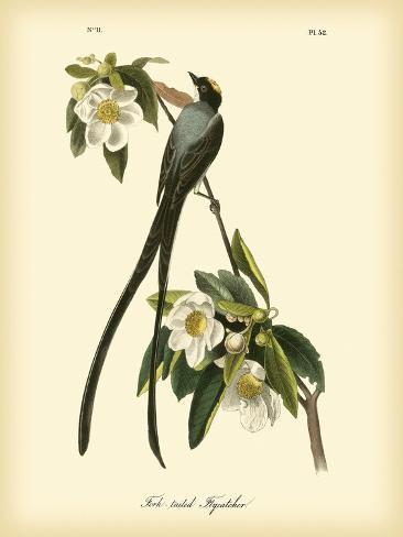 Fork-Tailed Flycatcher Impressão artística