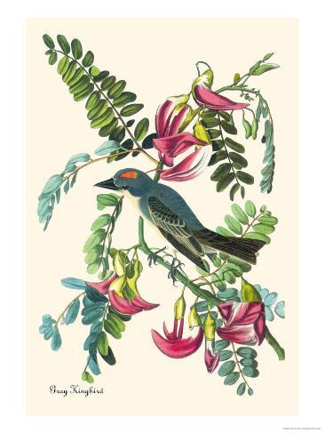 Gray Kingbird Art Print