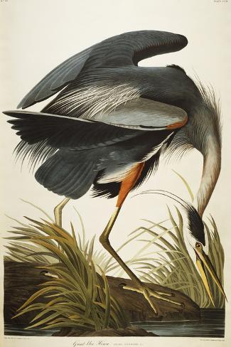Great Blue Heron Giclee Print