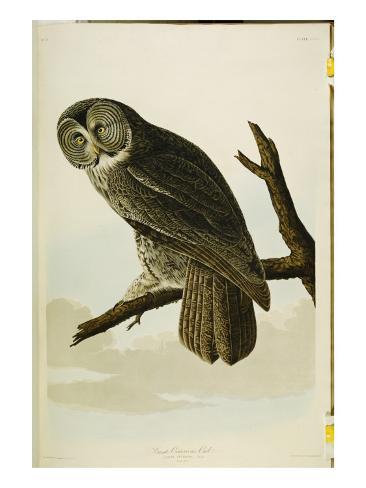 Great Cinereous Owl, from 'The Birds of America' Lámina giclée