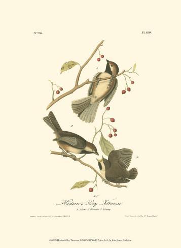 Hudson's Bay Titmouse Art Print