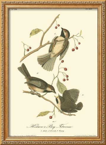 Hudson's Bay Titmouse Framed Giclee Print