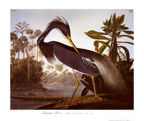 Louisiana Heron Art Print
