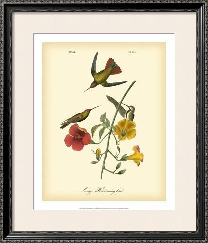 Mango Hummingbird Framed Art Print