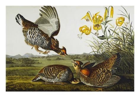 Pinnated Grouse. Greater Prairie Chicken (Tympanuchus Cupido), from 'The Birds of America' Giclee Print