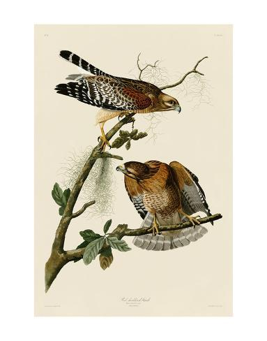 Red Shouldered Hawk Prints By John James Audubon At