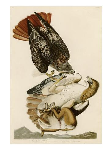 Red-Tailed Hawk Giclee Print