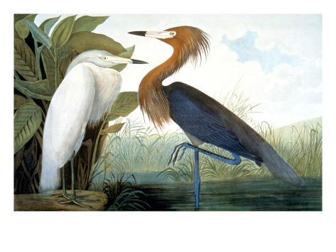 Reddish Egret Giclee Print By John James Audubon At