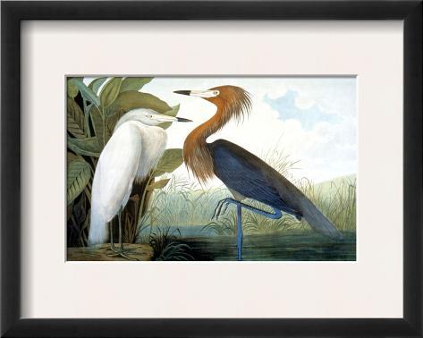 Reddish Egret, Impressão giclée emoldurada