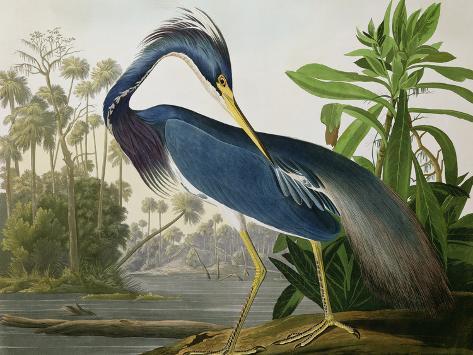 Reiger in Louisiana, uit Birds of America Gicléedruk