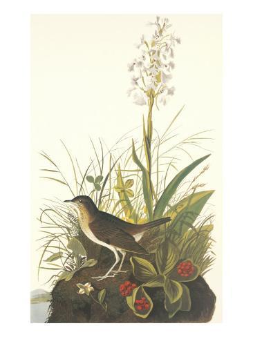 Tawny Thrush Art By John James Audubon At