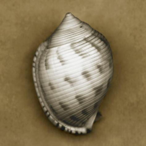 Spotted Bonnet Shell Photographic Print