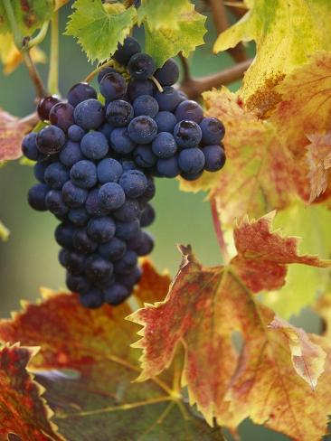 Grapes on a Vine Photographic Print