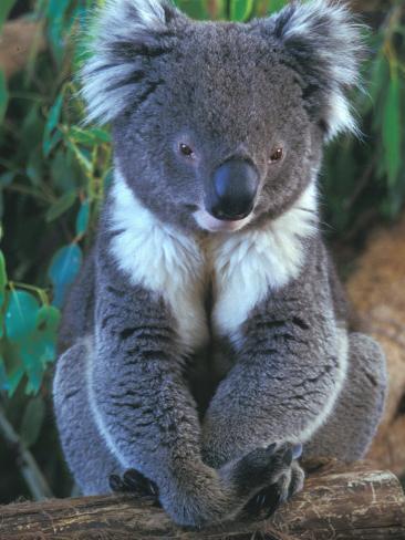 Koala, Australia Photographic Print