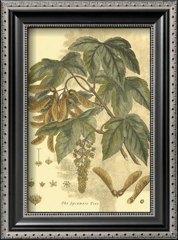 Antique Sycamore Tree Framed Art Print