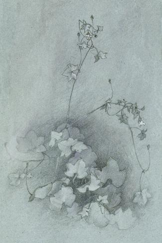Ivy-Leaved Toadflax ('Oxford Ivy') Lámina giclée