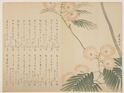 Flowering Silk Tree, C. 1818-1829 Giclee Print