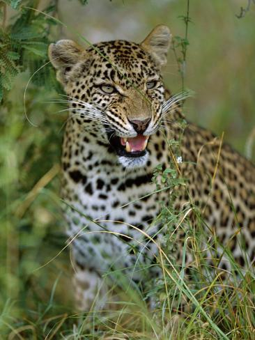 Female Leopard, Sabi Sands Game Reserve, South Africa Photographic Print