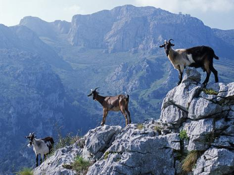 Picos De Europa, Goats Stand on a Ridgeline in the Picos De Europa, Spain Photographic Print