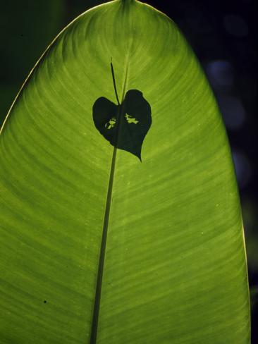 Tropical Leaves, Andromeda Gardens, Barbados Photographic Print