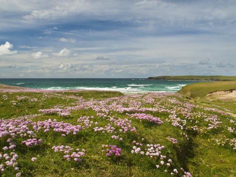 Wild Flowers and Coastline, Isle of Lewis, Outer Hebrides, Sotland, United Kingdom, Europe Photographic Print