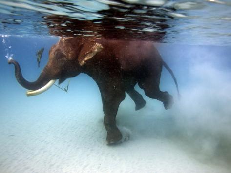 Elephant 'Rajes' Taking Swim in Sea Photographic Print