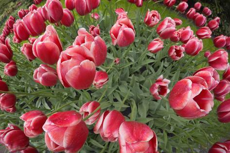 Tulipani  Stampa fotografica